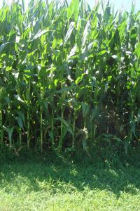 Corn fields Delaware 2015-01