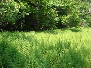 Ferns, early summer, Winterthur, DE-06