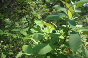 Pine Barrens & Native Orchids August 2015-04
