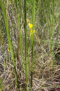 Pine Barrens & Native Orchids August 2015-16