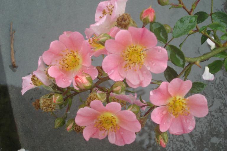NY Botanical Gardens Bronx Roses Mid-June 2015-71