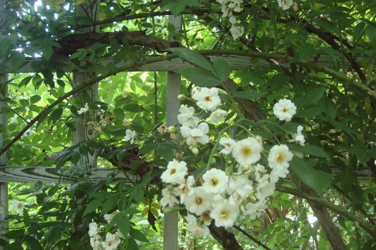 Roses Brooklyn Botanical Garden June 2015-006