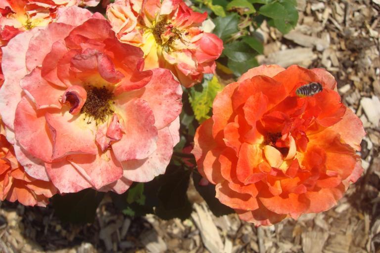 Roses Brooklyn Botanical Garden June 2015-074