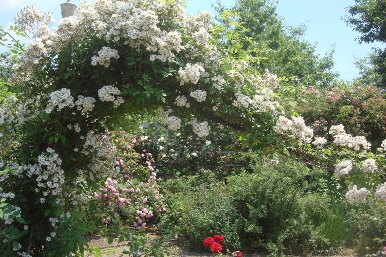 Roses Brooklyn Botanical Garden June 2015-093