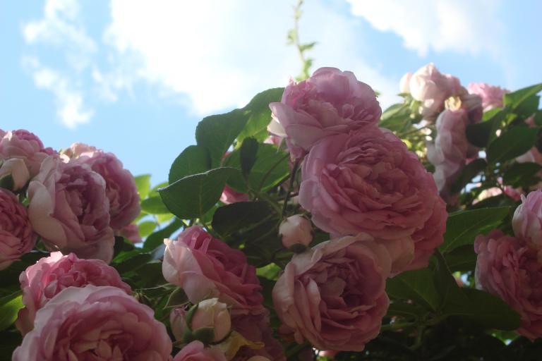 Roses Brooklyn Botanical Garden June 2015-105