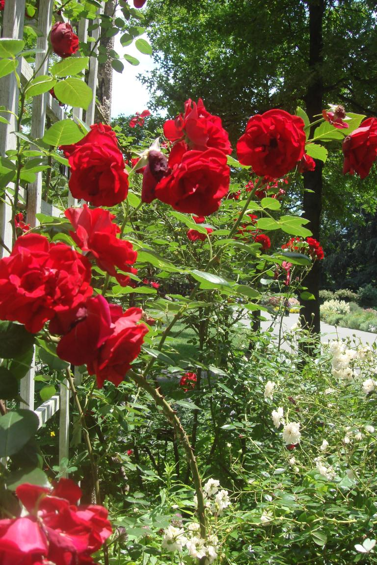 Roses Brooklyn Botanical Garden June 2015-133