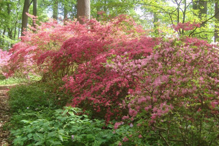 Azalea woodlands Winterthur May 2015-02
