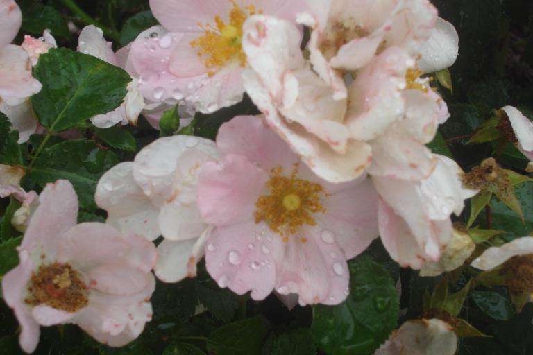 NY Botanical Gardens Bronx Roses Mid-June 2015-60