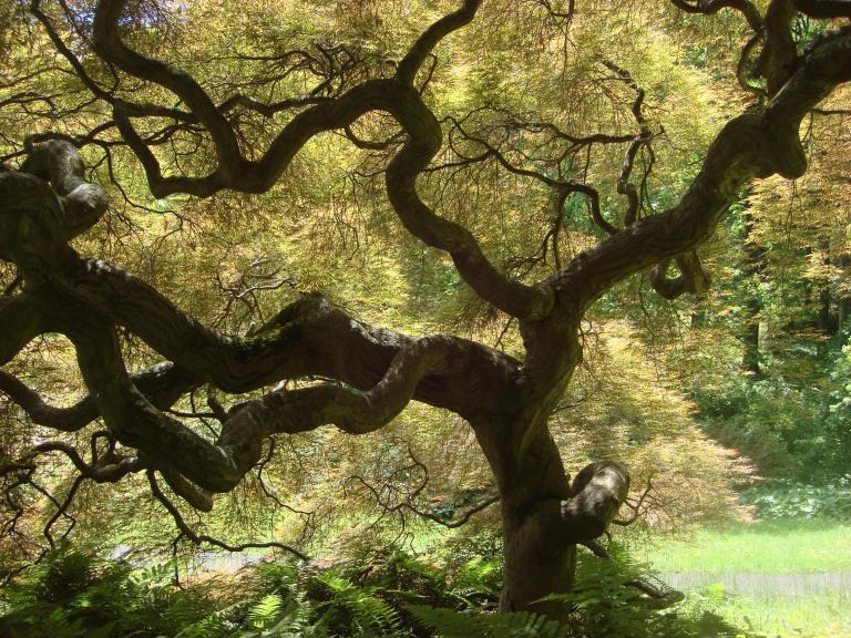 japanese-maple-winterthur-de-8-copy