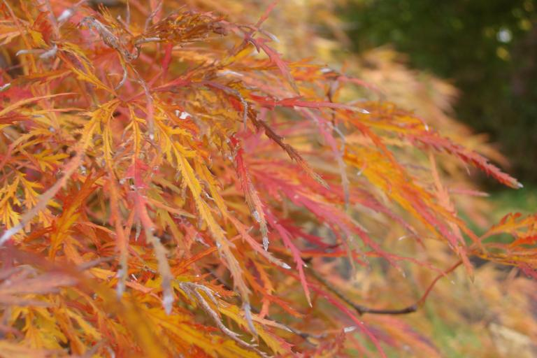 japanese-maple-winterthur-october-2015-3-copy