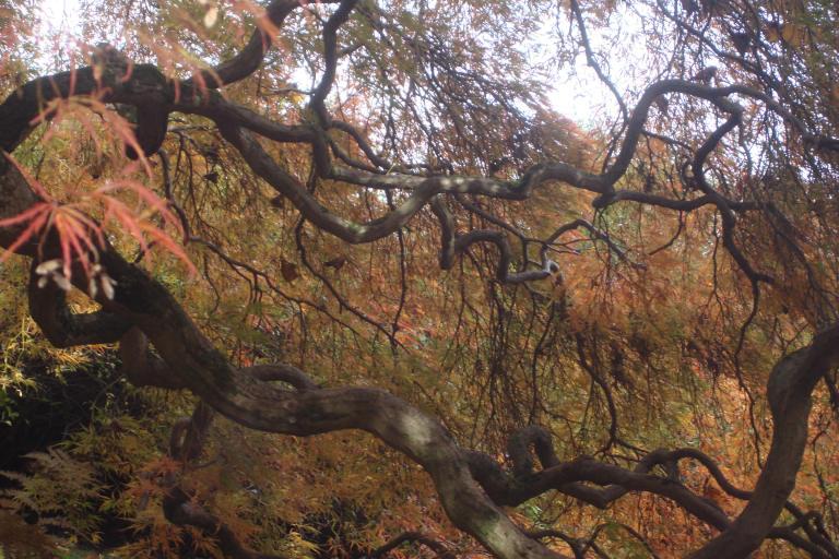 japanese-maple-winterthur-october-2015-4