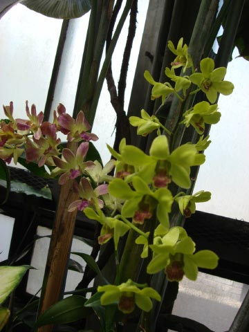 longwood-orchid-62