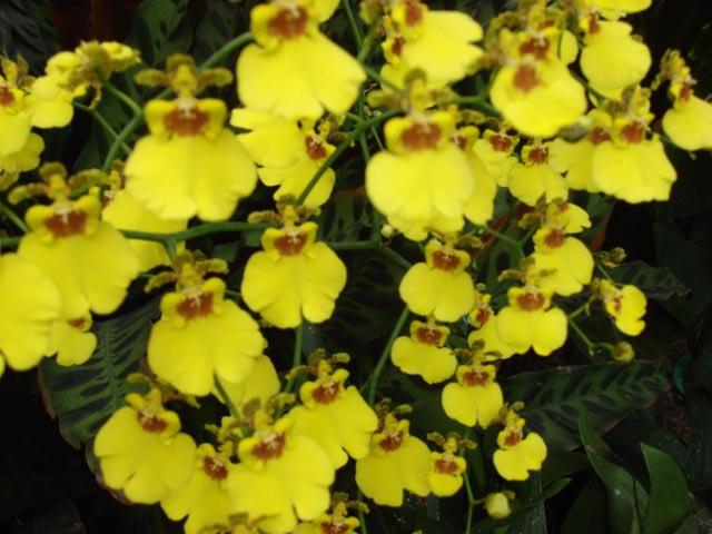 longwood-orchid-66