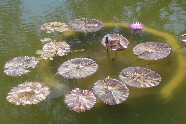 Lotus plants 2015-07