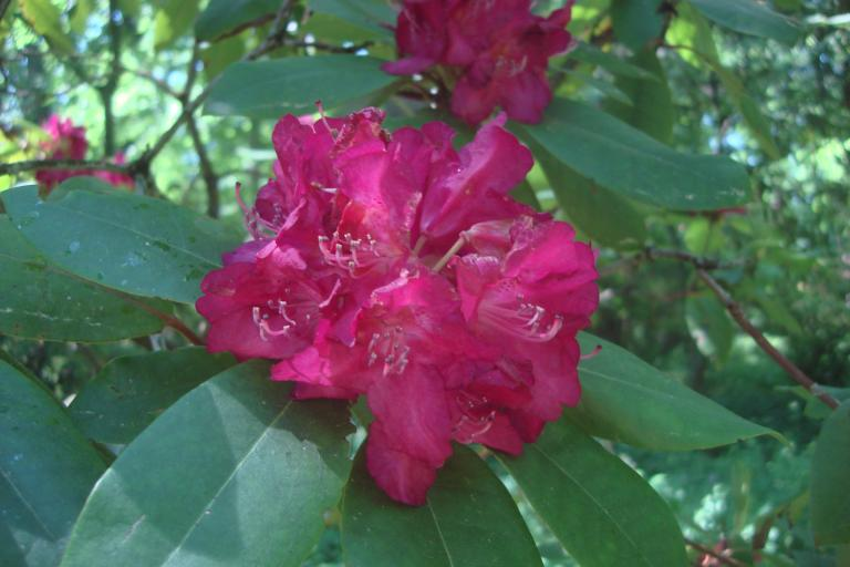 Rhododendrons Winterthur May 2015-03 - Copy