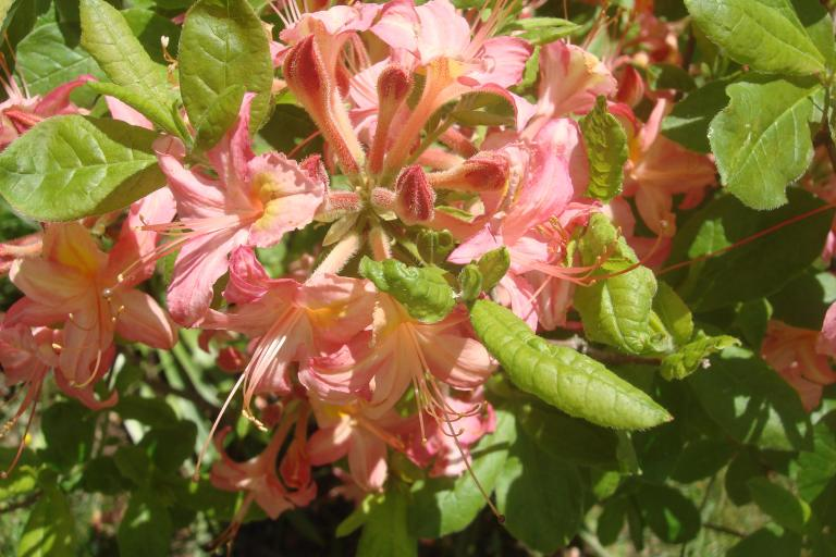 Rhododendrons Winterthur May 2015-05 - Copy