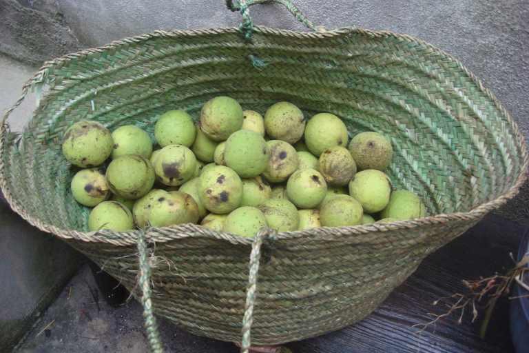 Woodmere American black walnuts 2015-1
